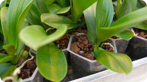 Missie Hazeu Orchids Caleidos